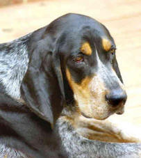 bluetick-coonhound-0016